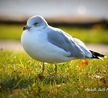 Seagull by Rochelle Smith
