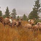 Columbia Rams by JamesA1