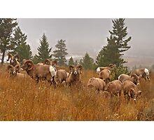 Columbia Rams Photographic Print