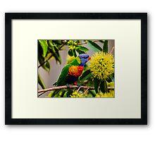 the nectar hunters - Rainbow Lorikeet Framed Print