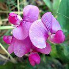 Last Sweet Pea of the Summer by Chris Gudger