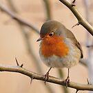 Robin by Heather Thorsen