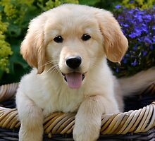 Charming Goldie Puppy by Katho Menden
