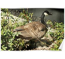 Canada Goose With a Nest Full of Eggs Poster