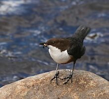 Dipper on Rock by Sue Robinson