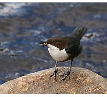 Dipper on Rock Photographic Print