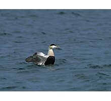 Eider Duck flapping wings Photographic Print