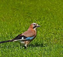 Eurasian Jay by Sue Robinson