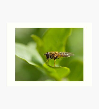 Hoverfly grooming Art Print