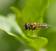 Hoverfly grooming by Sue Robinson