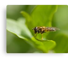 Hoverfly grooming Canvas Print