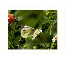 Large White Butterfly Art Print