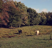 Cows by Ashley Dailey