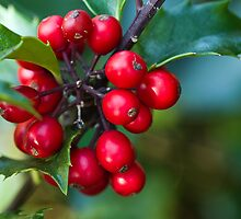 Holly Berries 2 by Tom Gotzy