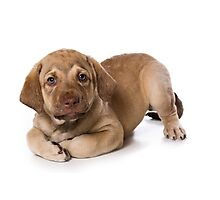 Funny brown puppy retriever Photographic Print