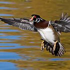 Wood Duck in the air by Eivor Kuchta