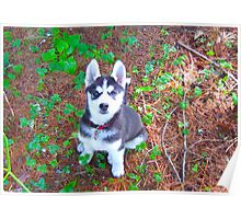 Siberian Husky Puppy: You Have My Attention Poster