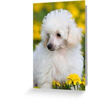 White fluffy puppy poodle charming dog Greeting Card