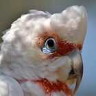 long-billed corella by gmws