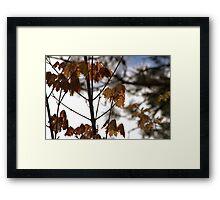 Spring Maples Framed Print
