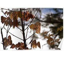 Spring Maples Poster