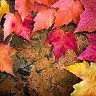 Maple Rainbow by Beth Mason