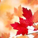 Maple Leaves by Beth Mason