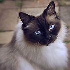 ragdoll cat by ozzzywoman