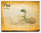 Pea by Nigel Bangert