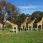 Giraffe's by Sandy1949