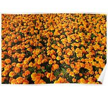 Orange Marigolds Poster