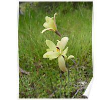 Thelymitra attenifera - Lemon-scented Sun Orchid, near York, WA Poster