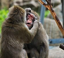 Japanese Macaques by Margot Kiesskalt