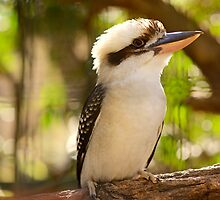 The Lonely Kookaburra   by artistrobd