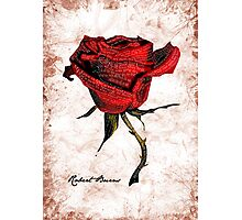 My love is like a red, red rose Photographic Print
