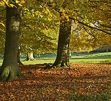 Autumn beeches by Judi Lion