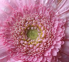 Pale Pink Gerbera by edesigns14