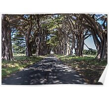 Cypress Tree Avenue - Point Reyes Poster