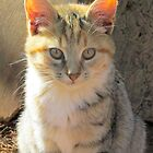 Sunlit Kitten by Ginny York
