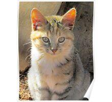 Sunlit Kitten Poster