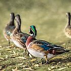 Wood Duck Family by KatMagic Photography