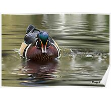 Territorial Wood Duck Poster
