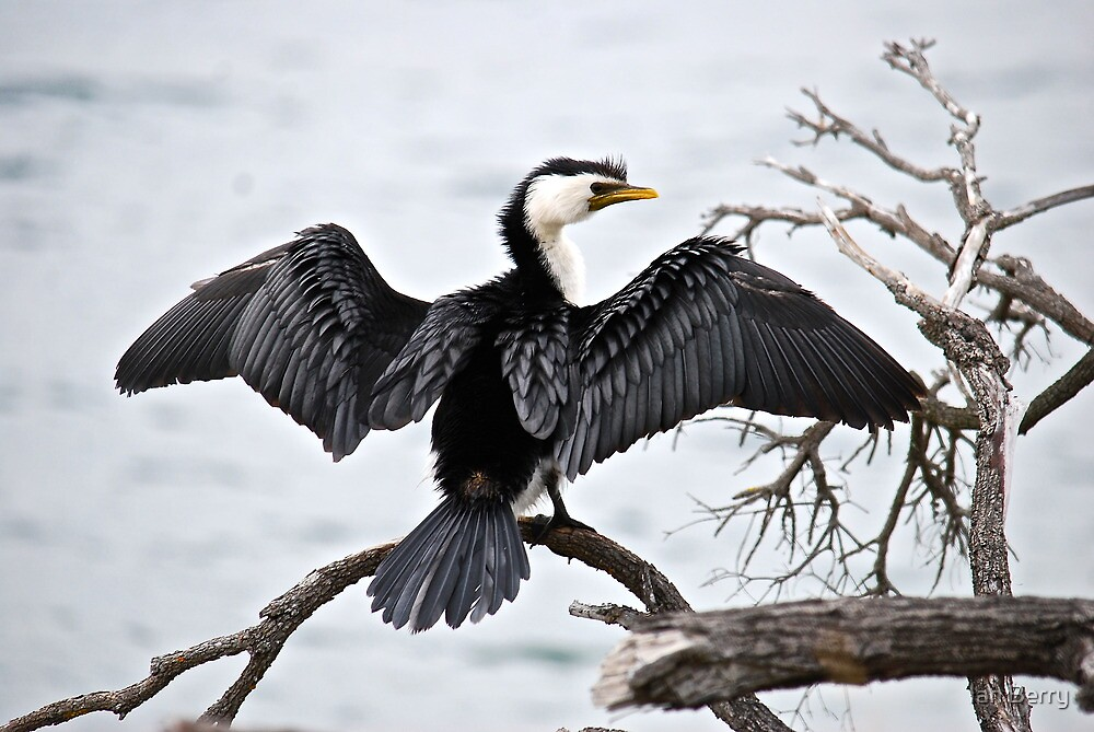 Little Pied Cormorant by Ian Berry