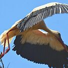 White Stork Leaving Nest Wings Stretched For Flight by taiche