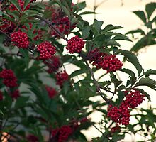 Elderberries by Sandra Foster