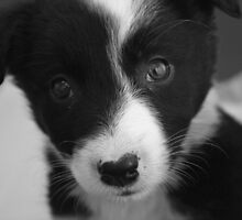Border Collie Puppy by Rhiannon Phillips