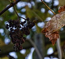 Dried Grapes On The Vine by lynn carter
