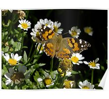 Meadow Argus on Chalet Daisies Poster