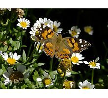 Meadow Argus on Chalet Daisies Photographic Print