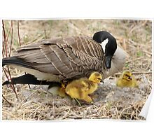 Female Canada Goose With Goslings Poster